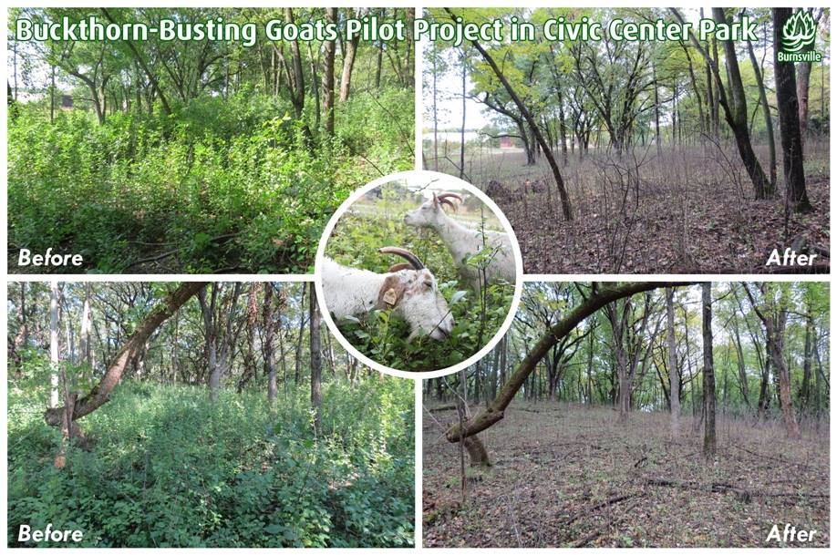 This photo series shows the goat grazing project area before and after the goats grazed the site.  B